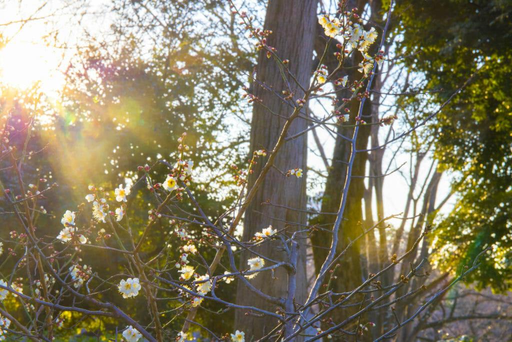 上野公園で撮影した咲きたての梅の花